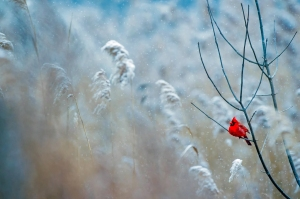 Image of cardinal in snow by Paco Chilito